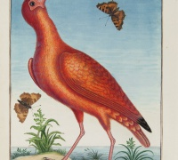 From Mark Catesby, The Natural History of Carolina, Florida, and the Bahama Islands.